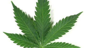 Marihuana (Cannabis): situación actual
